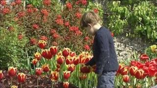 Toddler and tulips
