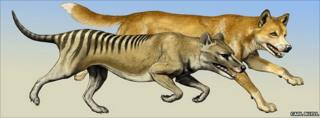 Thylacine (foreground) with dingo (background)