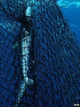 Shark in net