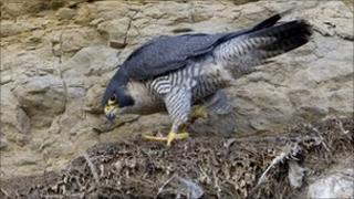 Peregrine falcon at Scarborough. Picture: Steve Race