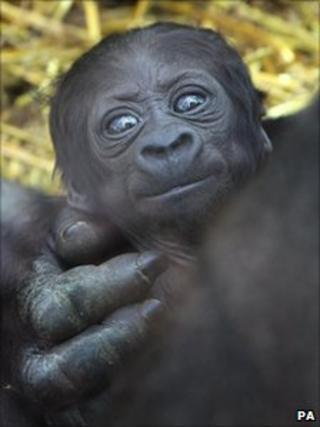 Newborn gorilla at Port Lympne Wild Animal Park
