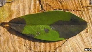 Infected rhododendron leaf courtesy of FERA