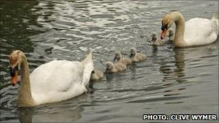 The family of swans days before they were killed