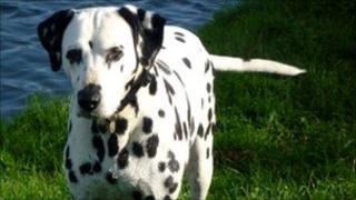 Pebbles, a Dalmatian dog