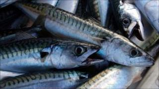 Catch of Mackerel in St Ives