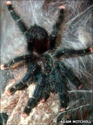 Baby tarantula