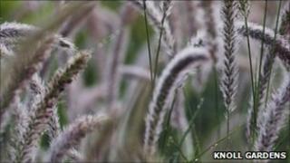 Pennisetum grass at Knoll Gardens, Dorset