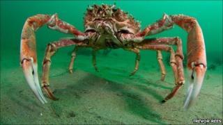 Spider crab. Copyright of Trevor Rees