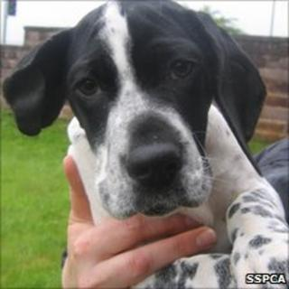 Deaf dog Lobes. Pic: Scottish SPCA