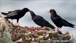 Choughs. Pic: Andy Hay/RSPB-images.com