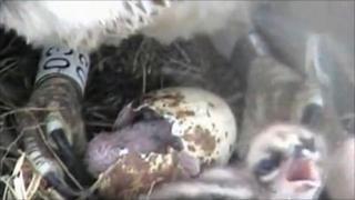 The third osprey chick hatching