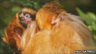 Bristol Zoo Tamarin monkeys