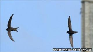 Swifts. Pic: Ernie Janes/RSPB Images