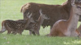 The red deer calves