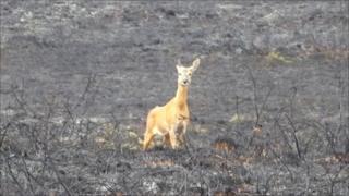 Deer looking for her dead fawn