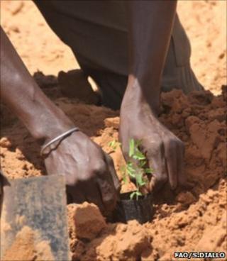 Planting an acacia sapling (Image: FAO/Sayllou Diallo)
