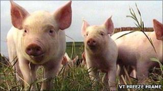 Pigs (Photo: VT Freeze Frame)