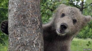 Brown bear cub