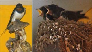 Swallows nesting in kitchen