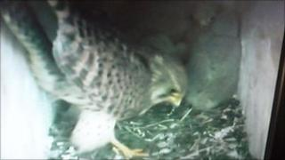 Image from the webcam of the kestrels' nest box next to the M25