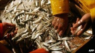 Spanish trawler crew sorting anchovies - file pic