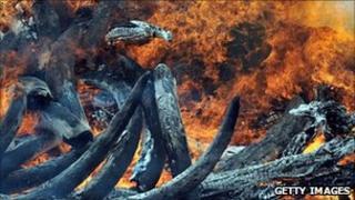 Ivory being burnt in Kenya