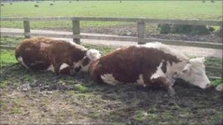 RSPCA images of injured cows at Sheriff Hutton, North Yorkshire