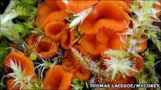 Octospora humosa