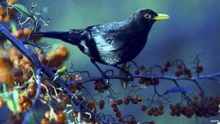 Blackbird on branch in tree