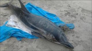 Dolphin stranded on Carne Beach