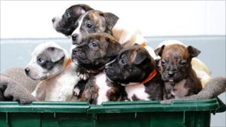 The Staffordshire bull terrier puppies
