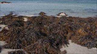Seaweed on Jersey's coast