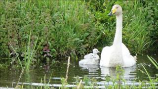 Whooper swan with cygnets at WWT Welney on Norfolk/Cambridgeshire border (Leigh Marshall/WWT)