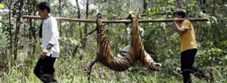 Tiger corpse being carried
