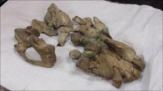Primate fossil