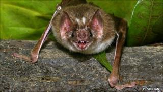 Vampire bat (Credit: P. Soriano)