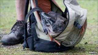 Wallaby in rucksack