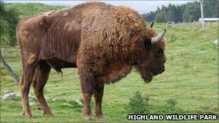 Tomek. Pic: Highland Wildlife Park