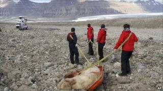 Dead polar bear being hauled away by rescuers in Svalbard on 5 August 2011