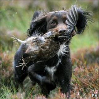 Gun dog with a grouse