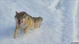 Running wolf (Credit: Jon Arnemo)