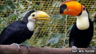 Toco toucan chick and adult