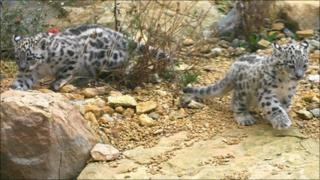 Baby snow leopards born at Leicestershire's Twycross Zoo