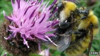 Mating great yellow bumblebees. Pic: DSRL