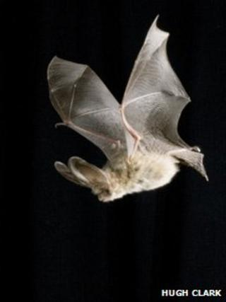 Brown long-eared bat. Pic: Hugh Clark