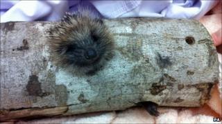 Hedgehog stuck in a log in Nottingham
