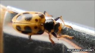 13-spot ladybird (pic: Richard Comont)