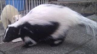 Skunk. Photo: Cumbria Police