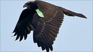 A marsh harrier