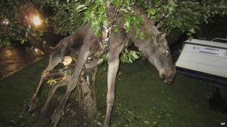 Elk stuck in a tree after eating fermenting apples.